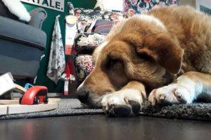 Bezdomne psy zamieszkały we włoskim sklepie IKEA